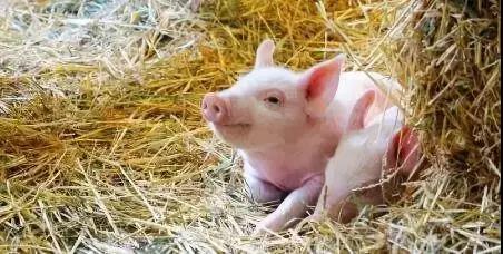 两轮猪肉收储背后,是国家出手救市、还是真的缺猪了?
