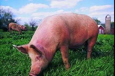 解析!第二轮收储5万吨猪肉对猪价的影响