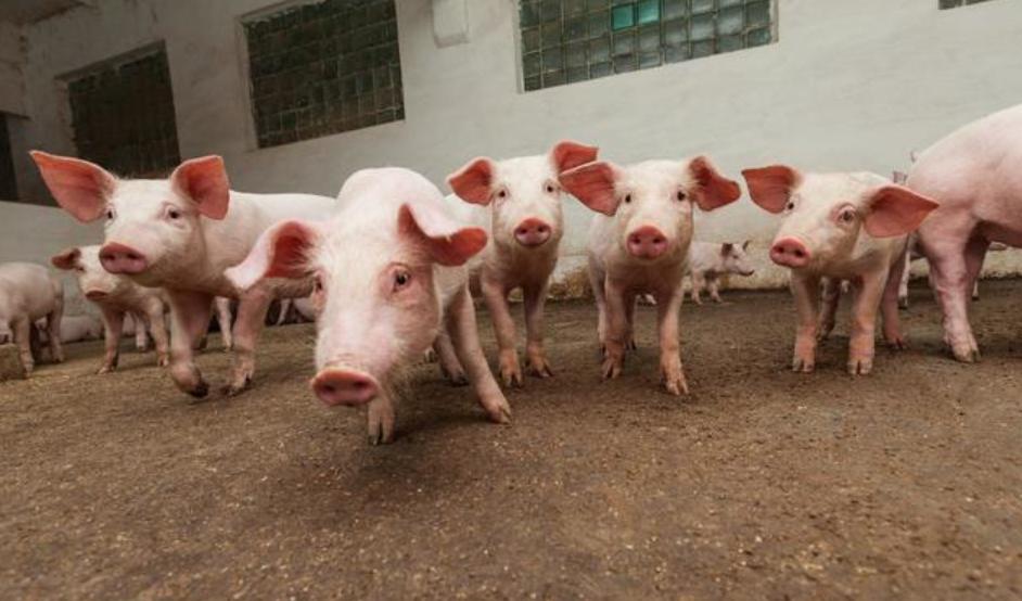 猪周期迎来大拐点,唐人神持续加大生猪养殖规模