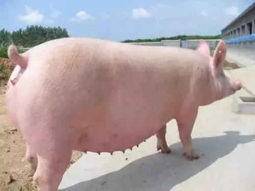 母猪产后无乳少乳,养猪大师教您如何给母猪高效催乳!