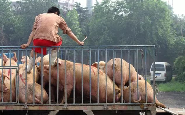 猪好多 养猪网