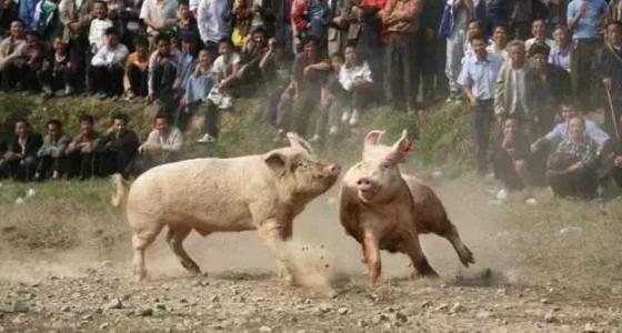 猪舍里猪老是打架,那是在确定谁是老大?