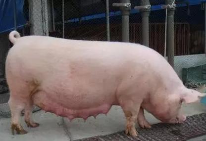有的母猪产程过长,是什么原因导致的呢?