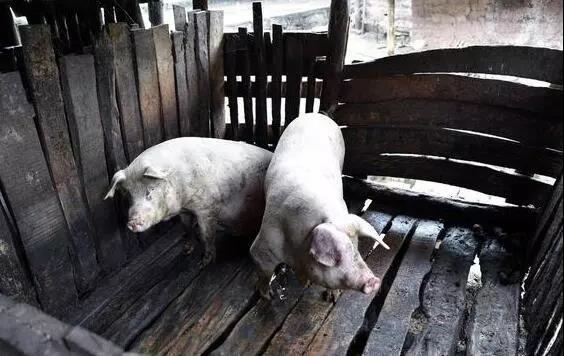 每天早上给猪场巡栏,养猪人都该干些啥?