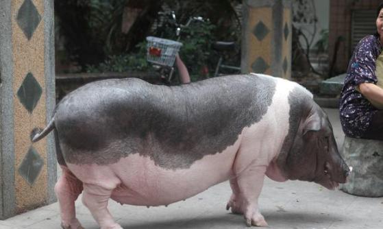 养猪想要省钱,最后可能适得其反