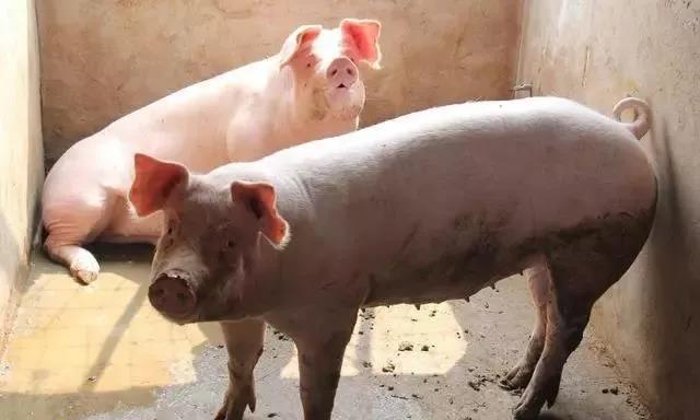 多地猪价破8冲9,屠企:猪太少了,猪价压不住了!
