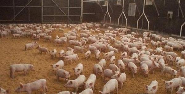 美国为什么能成为养猪第一大国,看看美国的养猪场你就懂了
