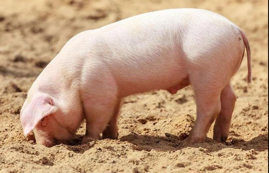 养猪技术分享!农村小型猪场要赚钱,科学养猪很关键