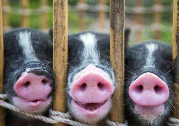 猪价的上涨还将持续多久?养猪人应该看看这3点!