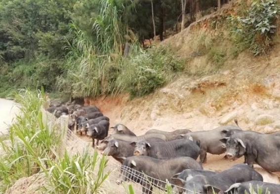 放养猪如何解决环保问题,这几点措施就轻易解决了