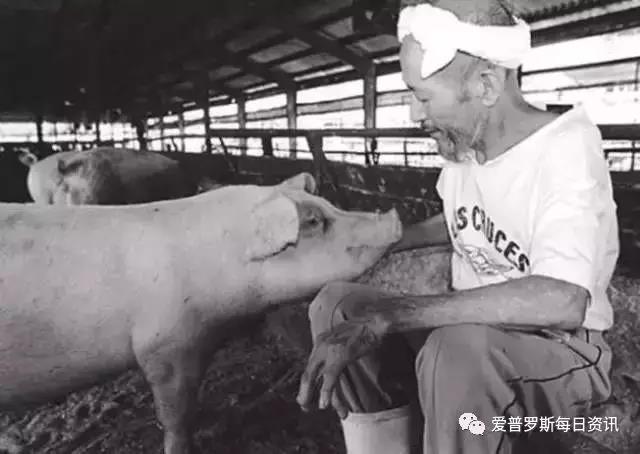 别再让它们助长非洲猪瘟横行——支原体肺炎篇