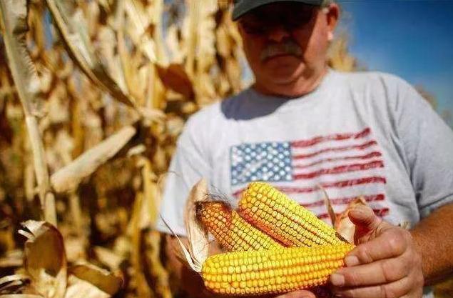 中国或将扩大进口美国玉米,农民咋办???