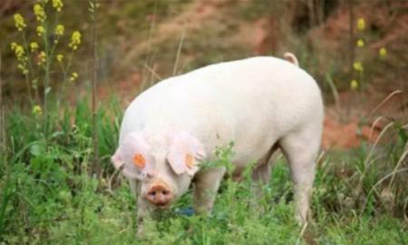 """为确保""""猪粮安天下"""",为中国养猪业 献上十计"""