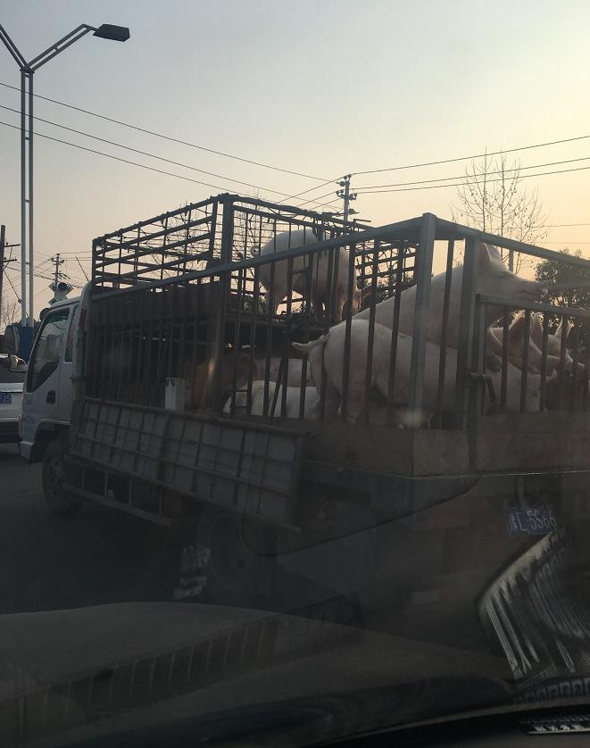 猪贩子的车开始装不满了,这是猪价要暴涨的前奏吗?