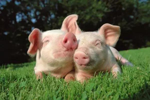 养猪人必读!最新生猪养殖政策出炉,这35条需牢记!