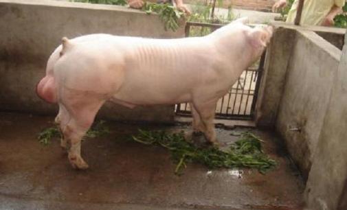 病猪要注意饲喂忌口,养猪人需知的10个饲养禁忌!
