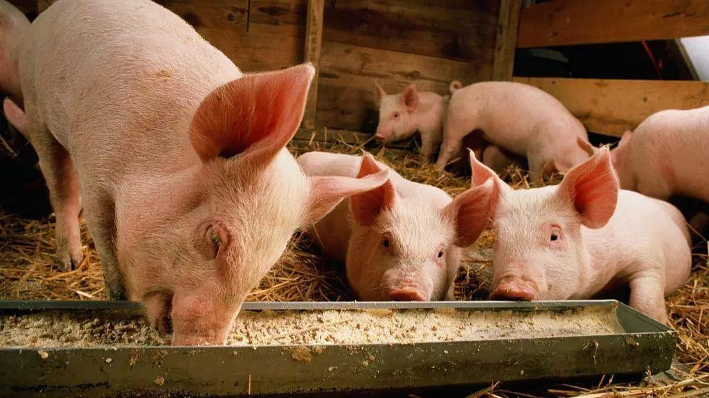 呼和浩特屠宰场疫情疑源于辽宁铁岭,跨省贩运病毒生猪4人公开道歉