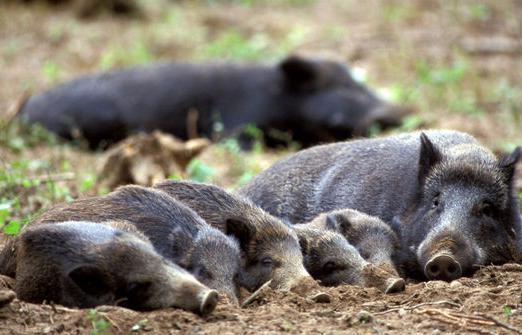 日本爱知县向野猪投放疫苗饵食 防止猪瘟感染扩大