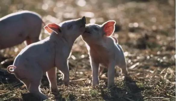 养猪饲养管理上需注意细节,做个细节控!
