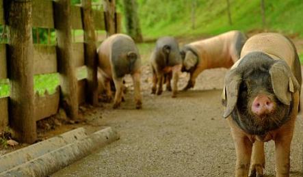 替代抗生素,养猪得走可持续发展道路!