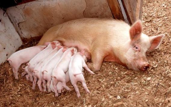 猪场常用消毒剂种类大全,正确使用方法你掌握了吗?