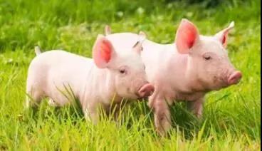 养好保育猪这里两点先做好,一是要细,二是要熟。