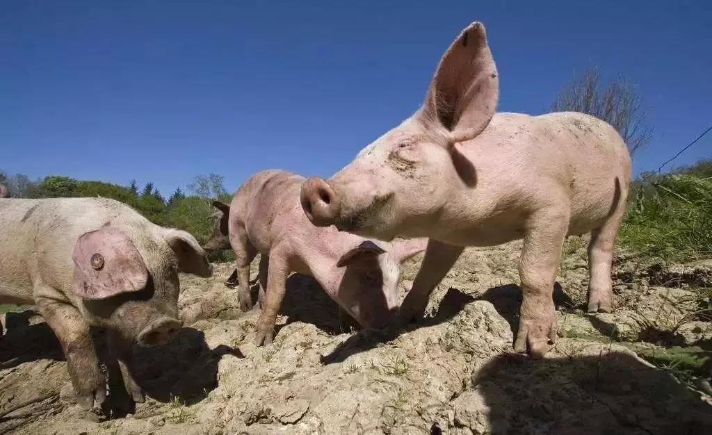 """1到3月份国际非洲猪瘟上千起,猪价上涨的背后藏着什么""""猫腻""""?"""
