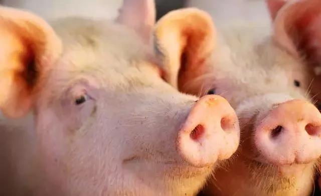 猪中毒的症状你知道吗?教您正确识别猪中毒及常见毒物!