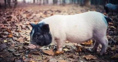 春季养猪人要做的三件事,件件都影响着养猪人的钱袋子!
