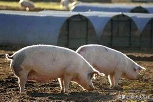 母猪分娩久久不见仔猪?教你一个安全又实用的方法