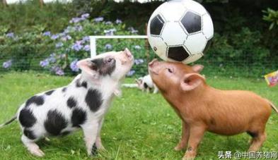 """非瘟疫苗面世后,猪就能真正的""""解脱""""吗?"""