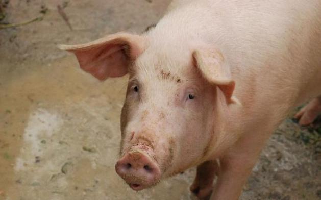 做好这几点,母猪每窝能多产2~5头小猪