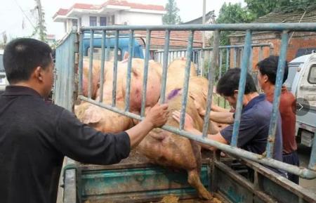 广东生猪存栏下降20%,葡萄牙首批5000吨猪肉入关