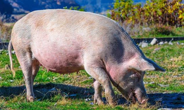 农谚里的养猪科学~站立不动,正好配种;粘液粘稠,正是火候