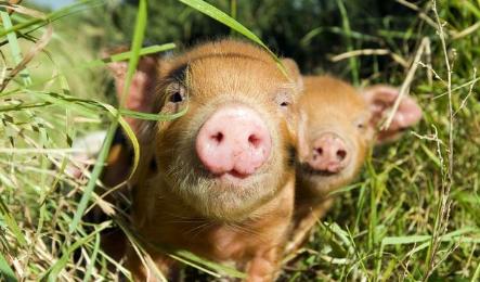 """政府甘当""""店小二""""积极对接养猪项目"""