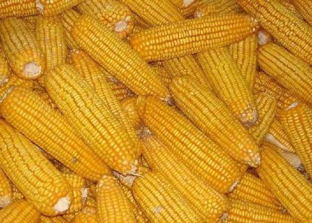 """进口玉米冲击国内市场?影响有限或""""昙花一现"""""""