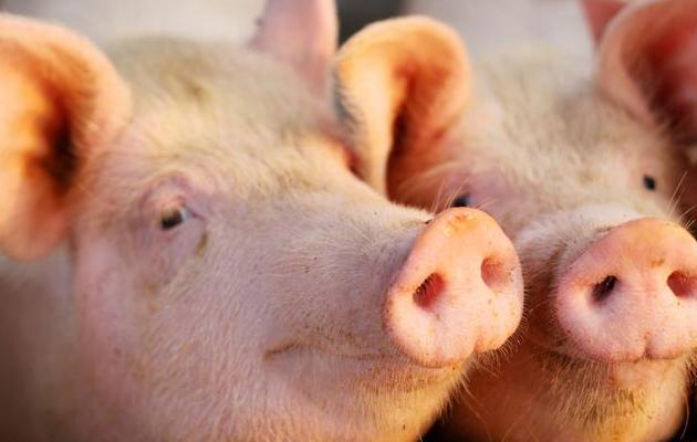 养猪技术并不复杂,但为什么人们养不好?