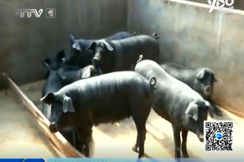 前景广阔的黑猪养殖