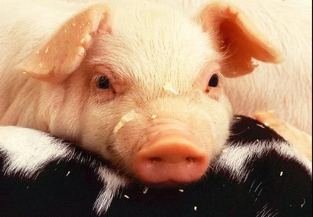 生猪价格和仔猪价格上涨,雏鹰农牧等上市猪企业绩有望改善