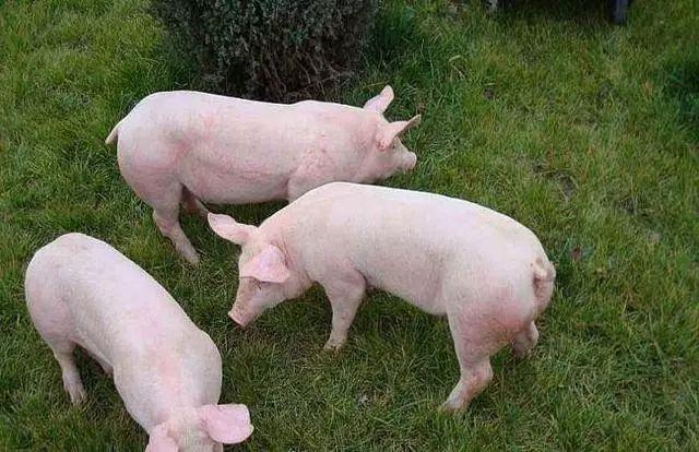 不要错过哦---母猪选育的一点小总结