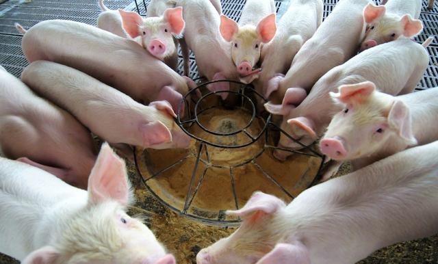 自然采食中,猪只感染非瘟病毒概率有多大?