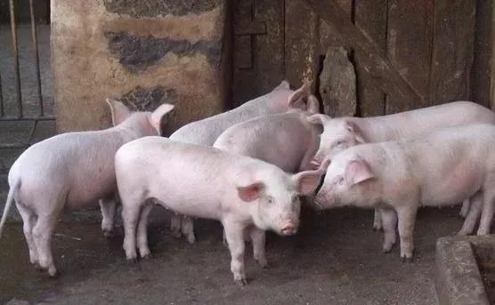 进口量不及需求缺口,猪肉价格仍有上涨空间