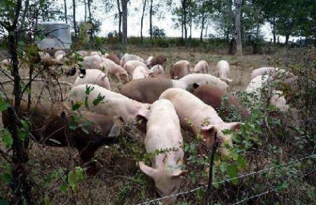 2019年04月04日全国各省生猪价格土杂猪价格报价表