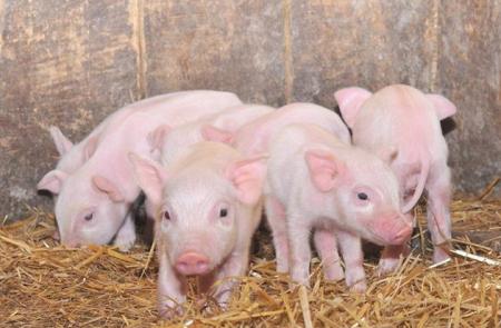 2019年4月04日仔猪价格:10公斤仔猪价格行情走势