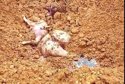 桂林这家养殖场死猪事件情况通报来了,蓝耳病和猪瘟混合感染所致