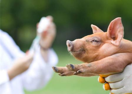 关于猪场免疫的一些常识---疫苗宜少不宜多!