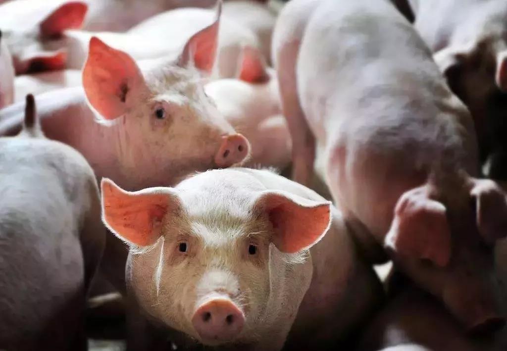 最新通知:广西禁止7省生猪调入!这10种情况不出检疫证明