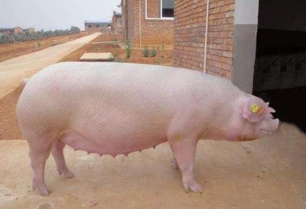 红糖在养猪中的妙用,治疗猪病用对了有奇效
