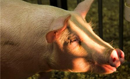 2019年04月05日全国各省生猪价格内三元价格报价表