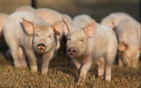 2019年04月06日全国各省生猪价格内三元价格报价表